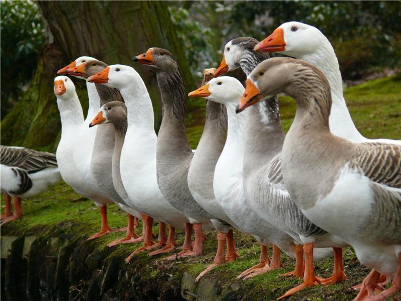Лучший корм для гусей