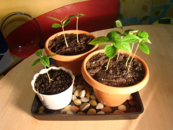 Как вырастить персик из косточки на участке