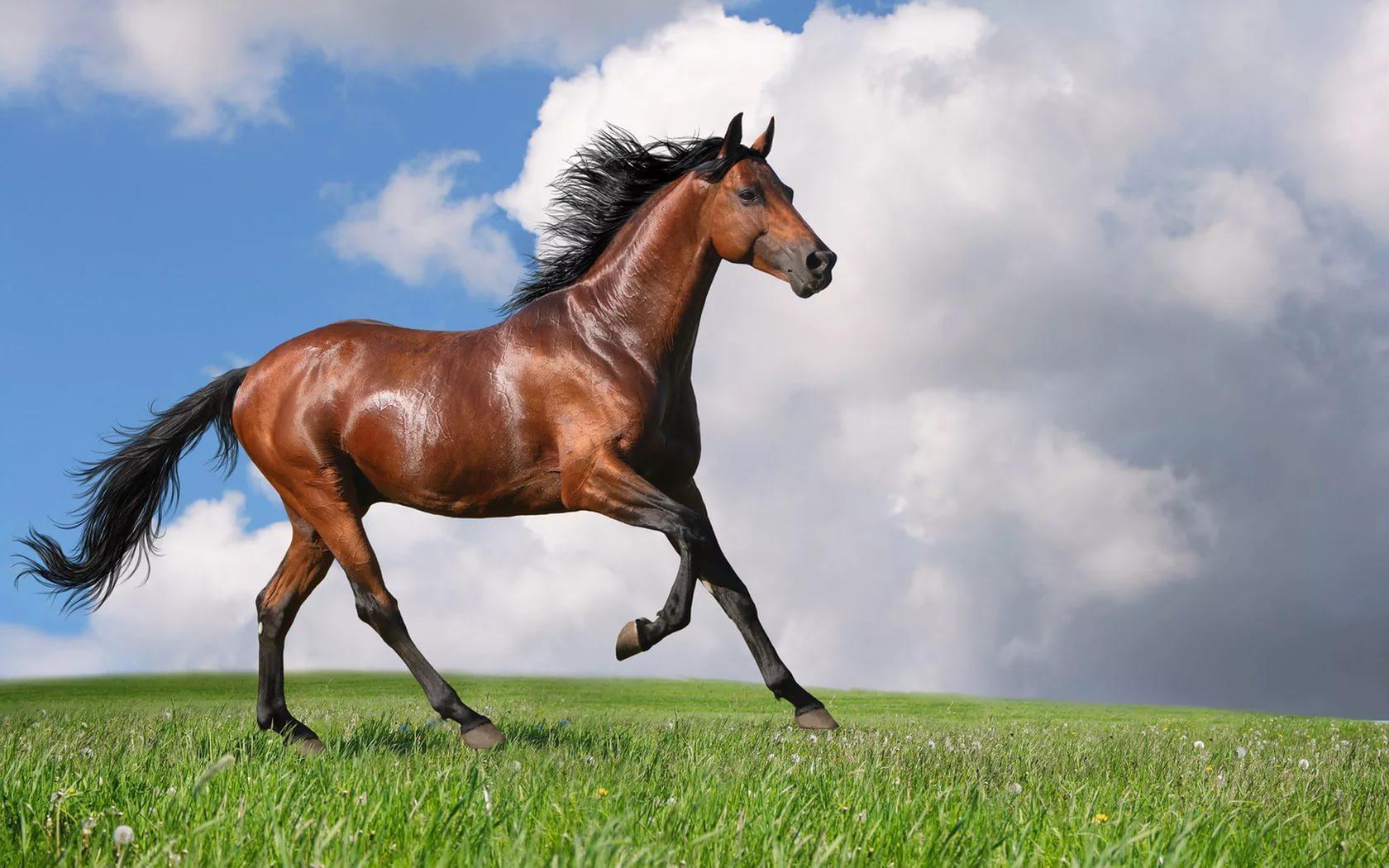 Как научить лошадь испанскому шагу: инструкция дрессировки