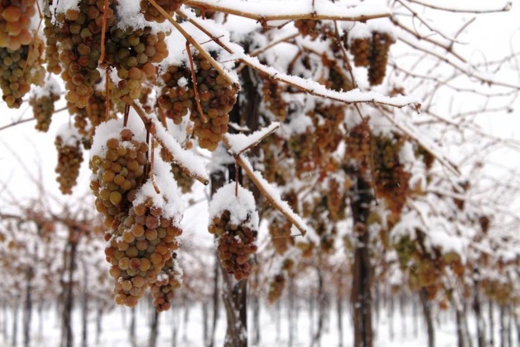 Сколько градусов мороза выдерживает виноград без укрытия, нужно ли укрывать?