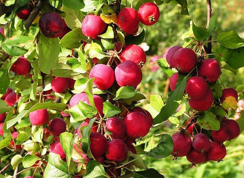 Яблоня сорта яблок, описание, виды, фото, уход