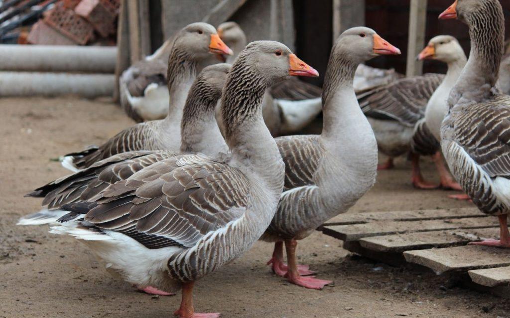 С какой целью узнают пол у гусей