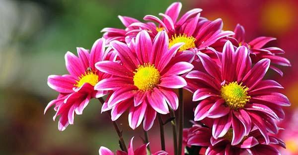 Как вырастить хризантему из черенка из букета