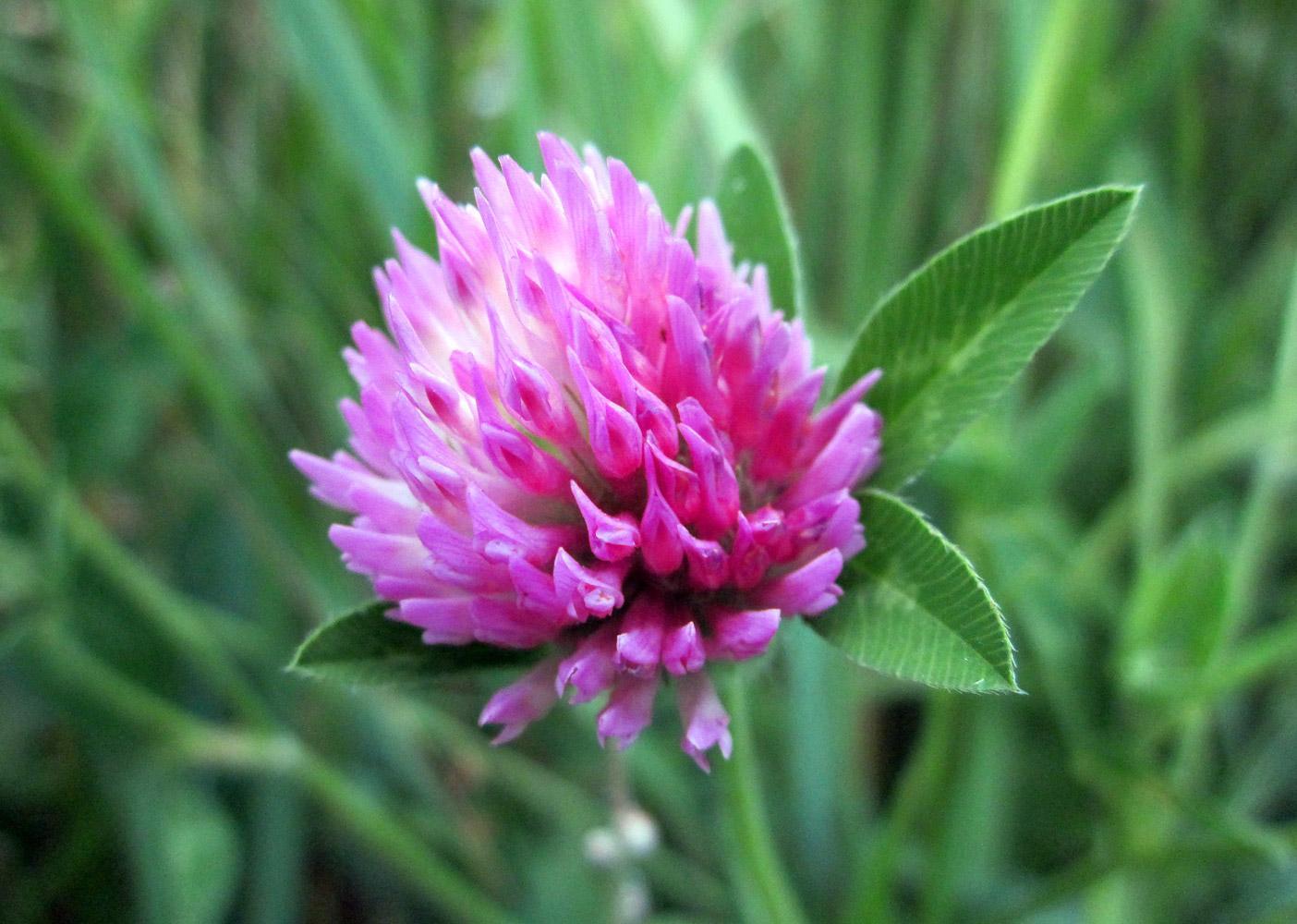 Клевер (фото растения) - секреты, советы, инструкции.