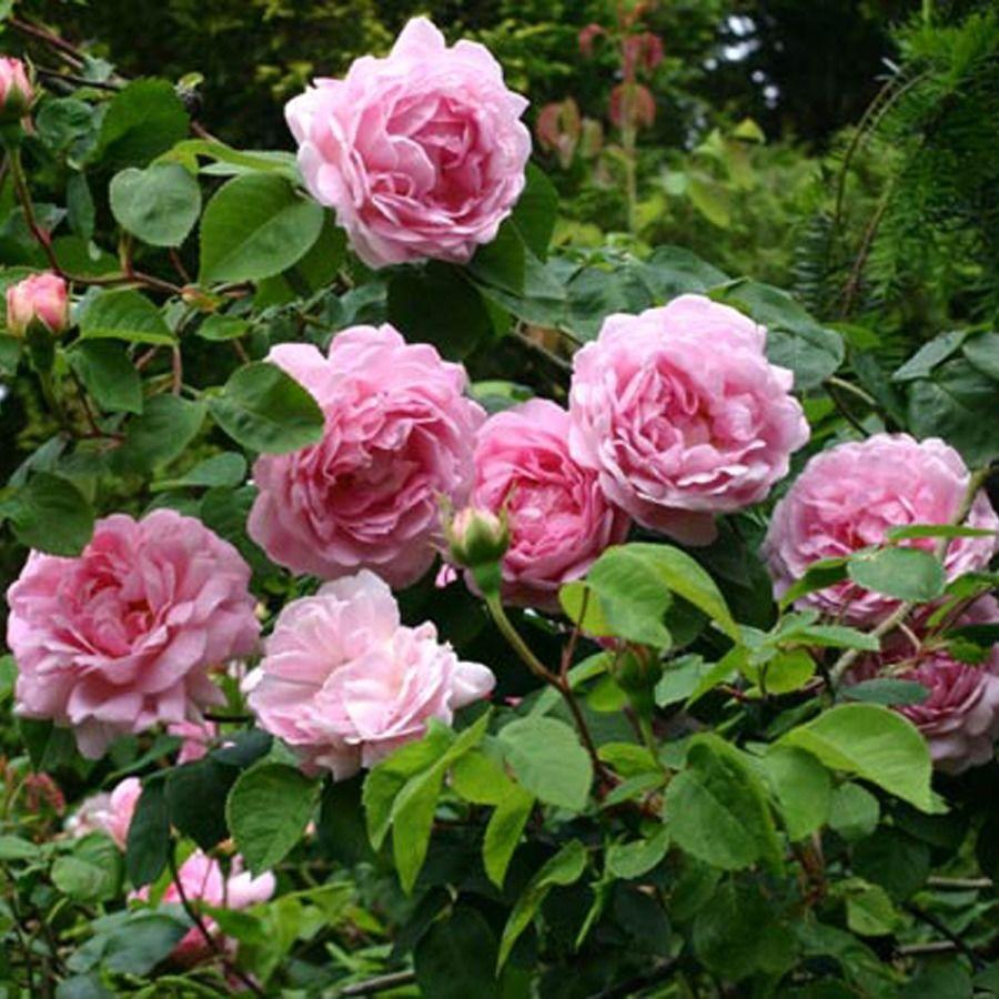 Пионистые розы
