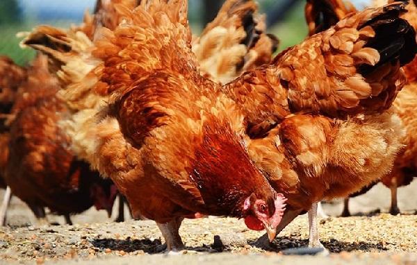 Можно ли кормить кур хлебом, овсом, ячменем, ботвой, горохом: что давать нельзя