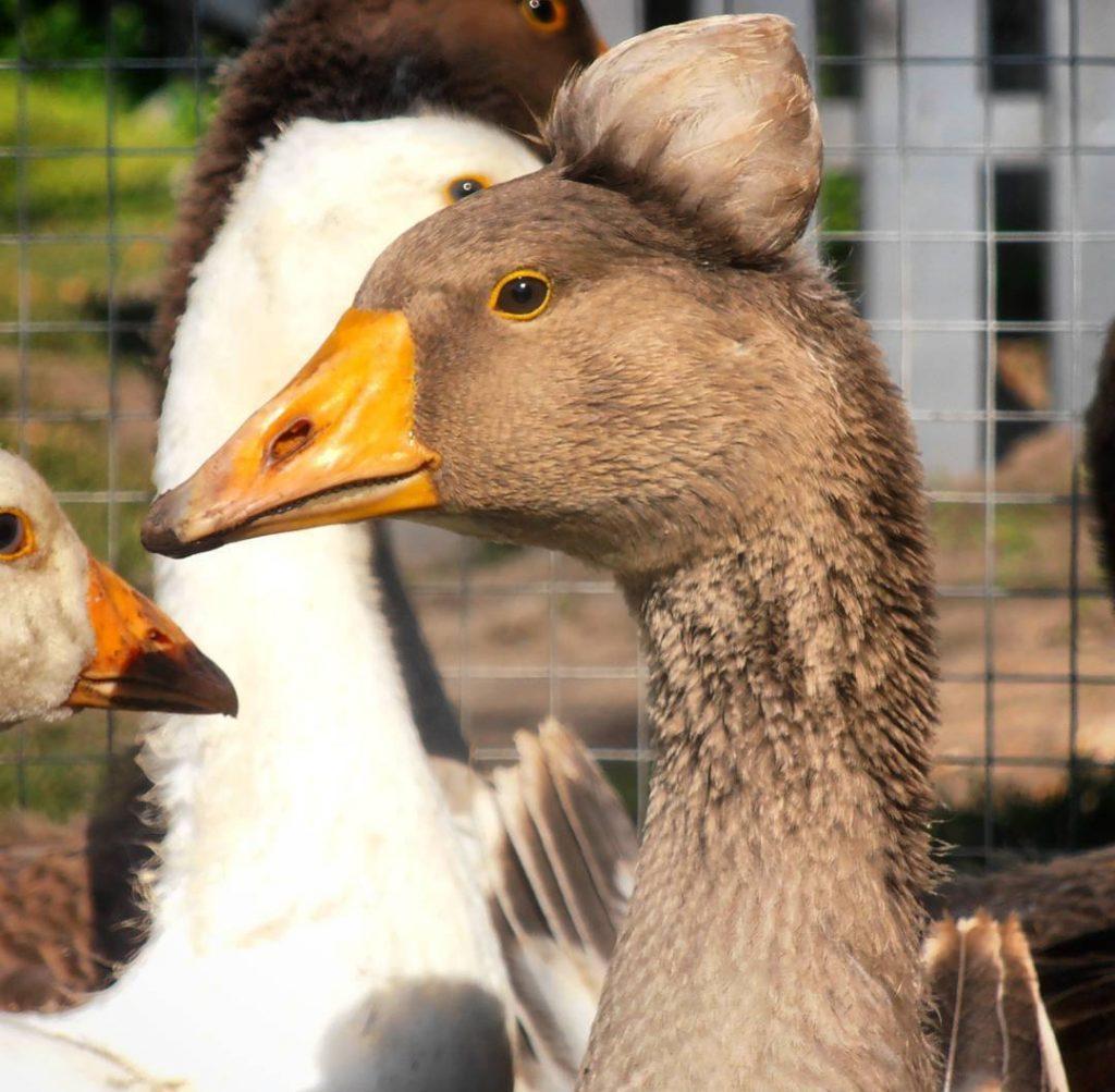 Породы гусей с фото и описанием