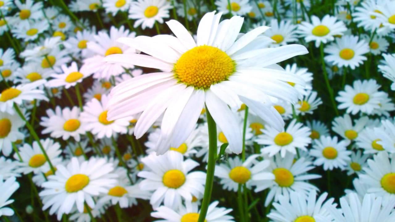 Ромашка период цветения