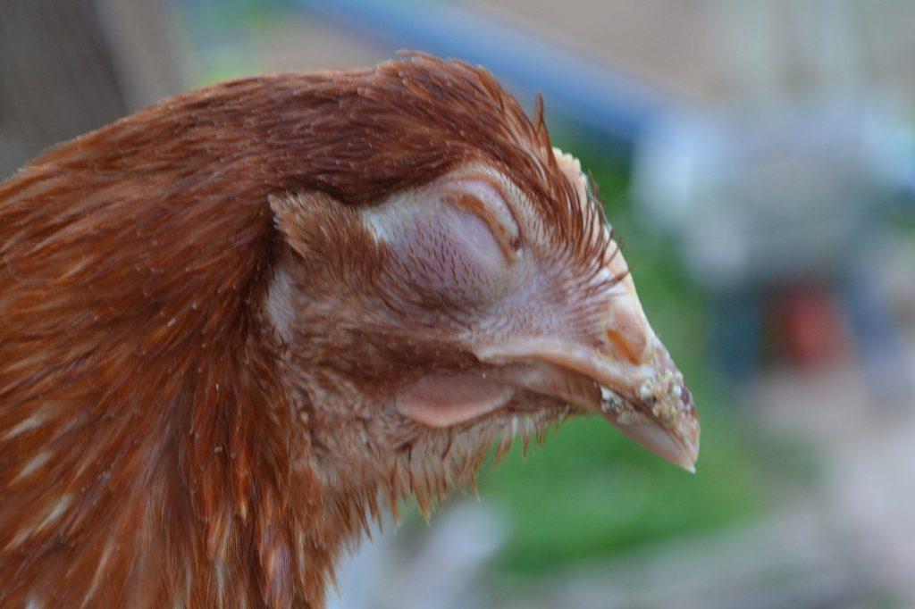 О болезнях глаз у курицы: что делать, если один глаз закрылся, как лечат слепоту