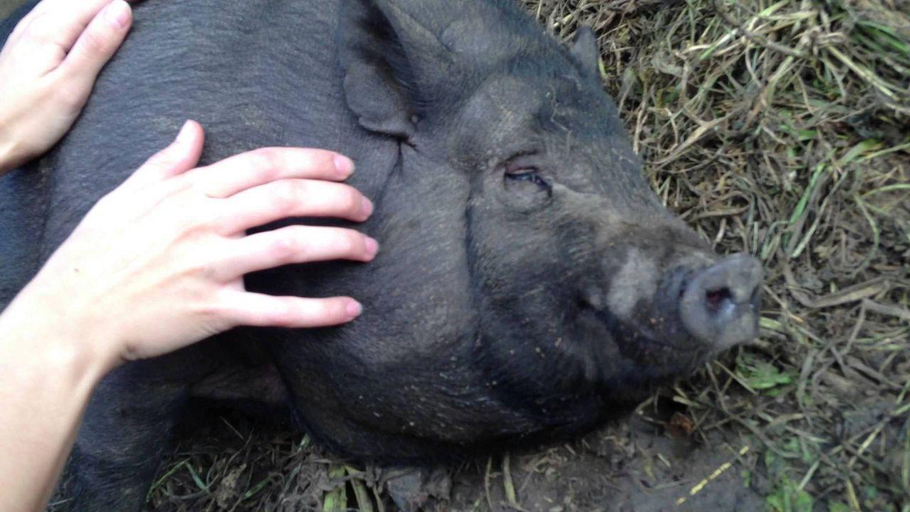Вьетнамские вислобрюхие свиньи: содержание и уход, разведение и выращивание поросят, фото и видео