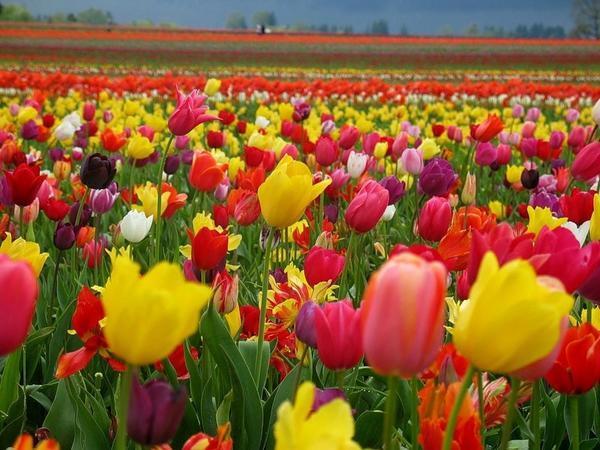 Тюльпан Династия 16 фото описание и правила их выращивания