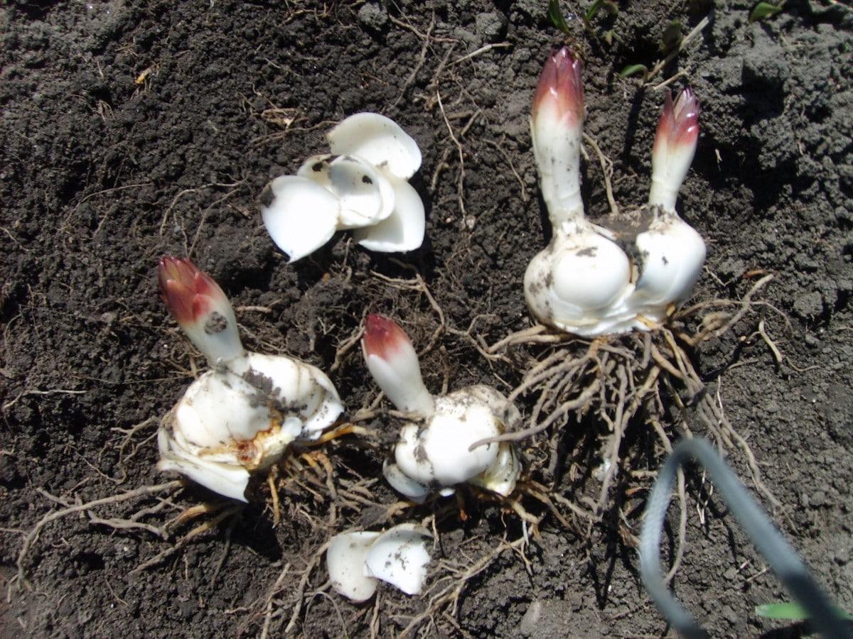 До какого времени можно сажать лилии осенью