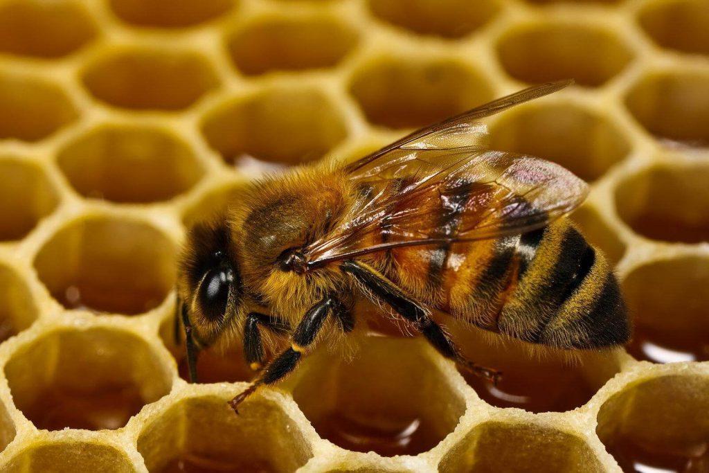 Мед бортевой диких пчел полезные свойства фото