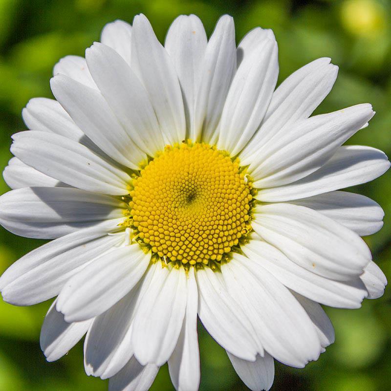 Как называются разноцветные цветы, похожие на ромашки: розовые, желтые, голубые, большие и маленькие (фото)