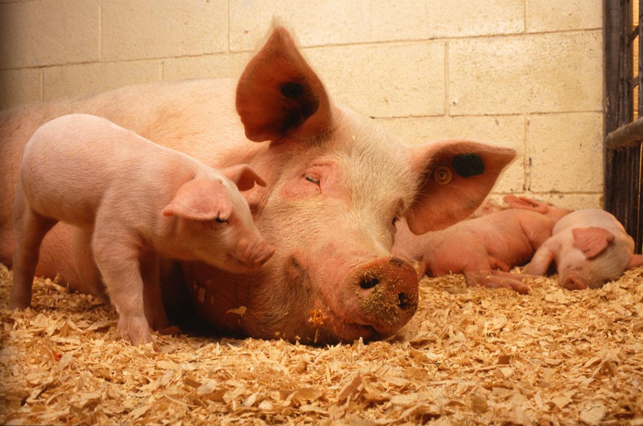 Рожа у свиней симптомы течение болезни