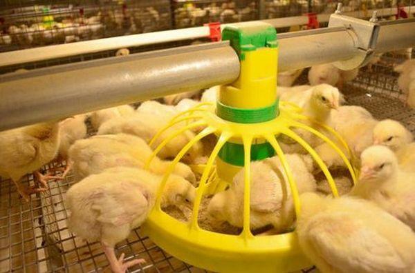 Как лечат болезни ног у цыплят