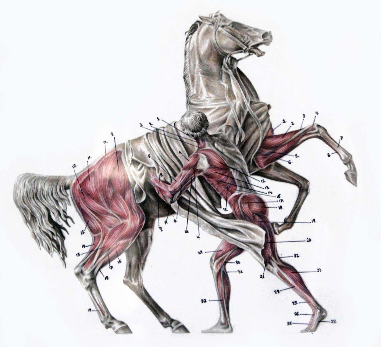 Копыта лошади: строение и особенности