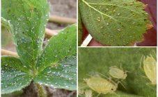 листья клубники в мелкую дырочку