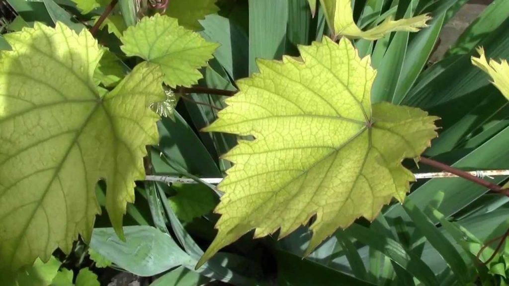Почему у сливы желтеют и опадают листья: причины и что делать, чем обработать