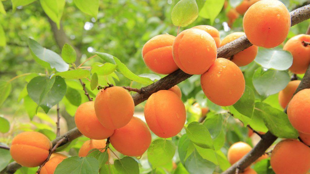 Как бороться с болезнями абрикоса