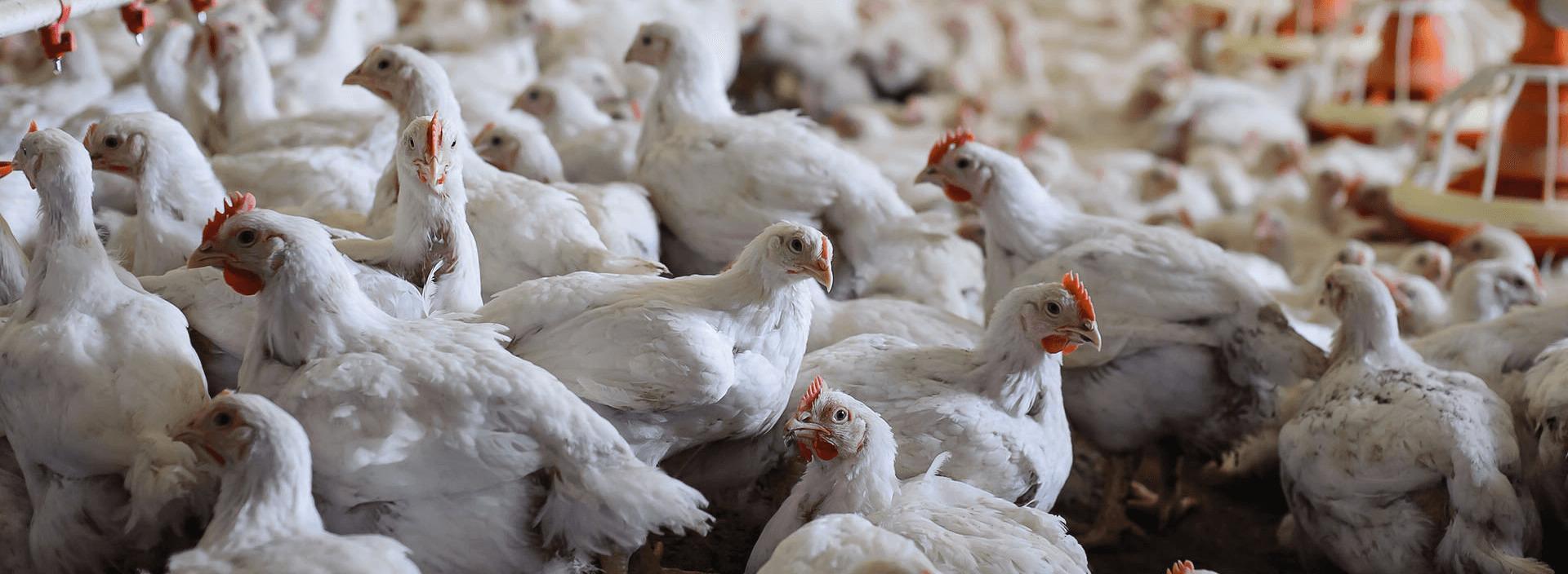 Каковы нормы кормления цыплят-бройлеров на разных этапах жизни