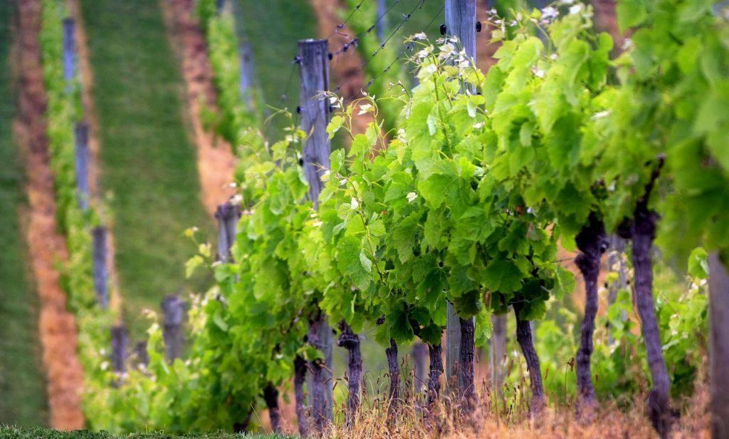 Как правильно формировать виноградную лозу для образования куста для начинающих