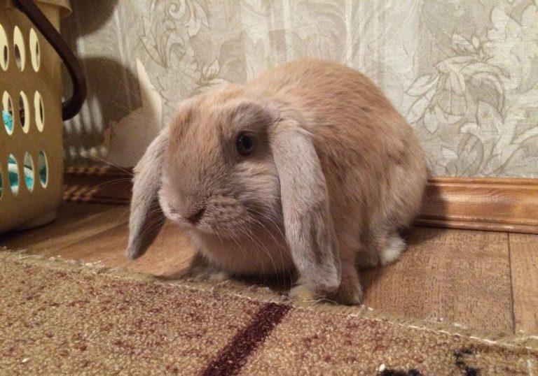 вислоухого кролика барана чем видео правильно кормить