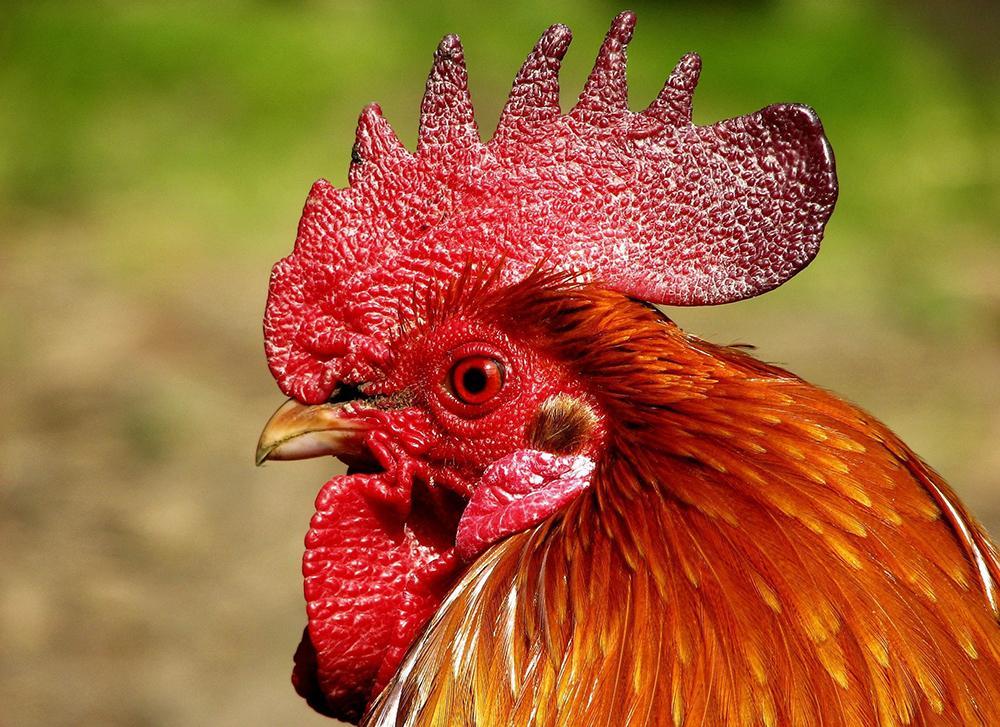 Почему у петуха и кур синеет гребешок (чем лечить, чтобы птица не дохла)