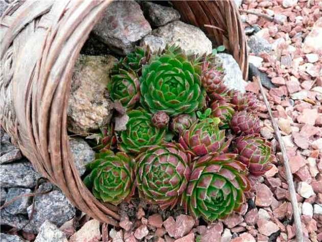 Каменный цветок как ухаживать в домашних условиях