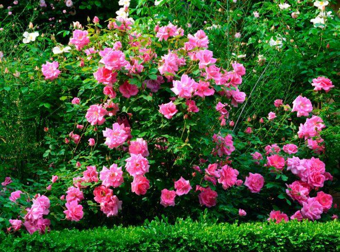 Какие бывают мелкие виды кустовых роз