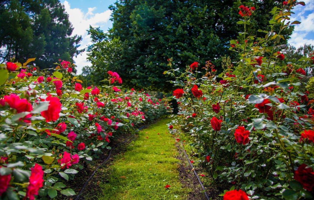Мучнистая роса на розах осенью как лечить