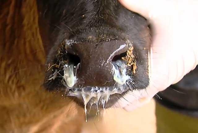 Почему кашляют бычки