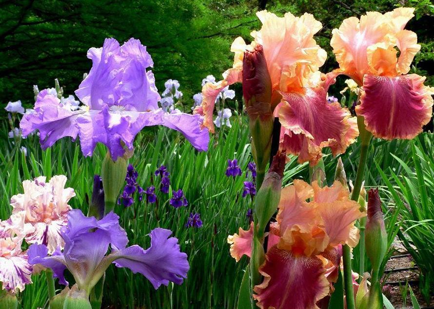 Когда пересаживать ирисы после цветения
