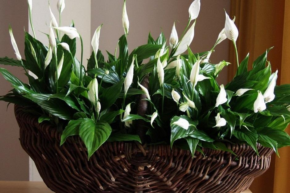 тех женские цветы в доме фото и названия внимание своих поклонников