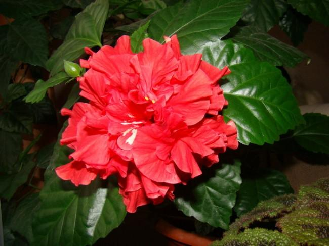 К чему цветет китайская роза приметы