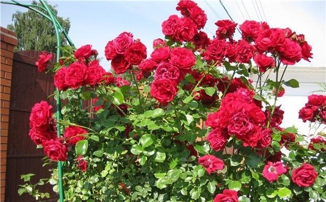 Как обрезать розу сантана