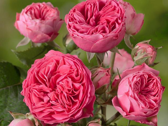 снизу роза рококо отзывы фото менее последние