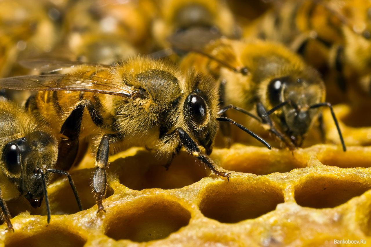 Матка в пчелином улье