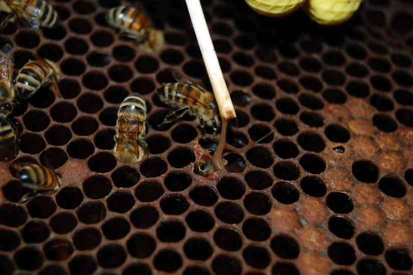 Гнилец у пчел лечение народными средствами