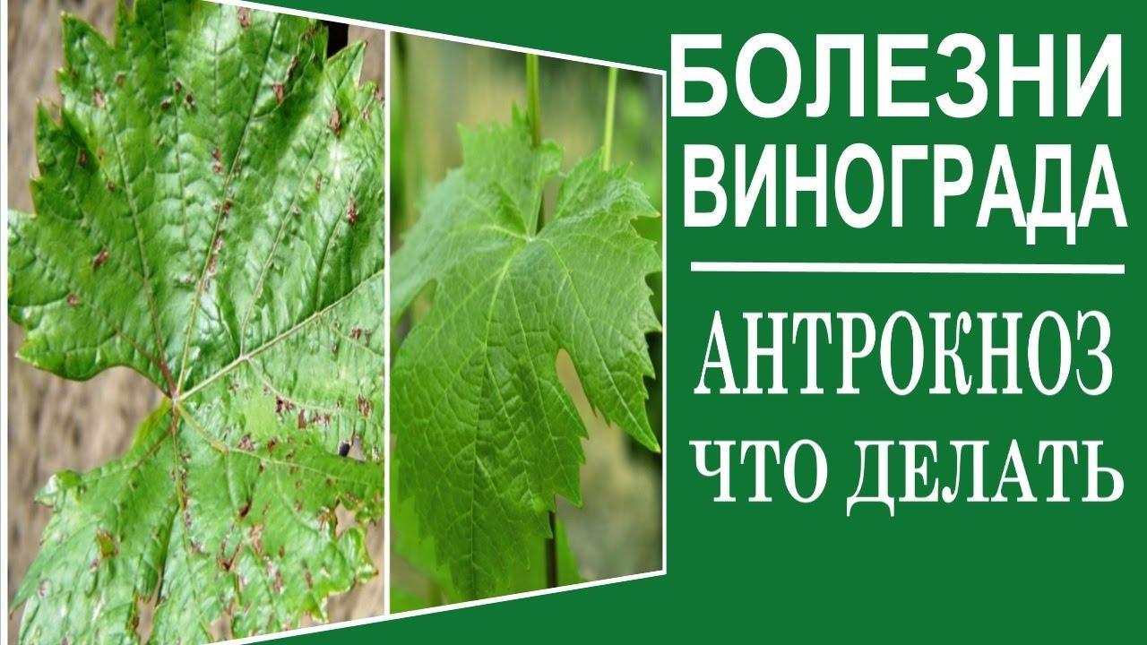 Чем лечить антракноз винограда