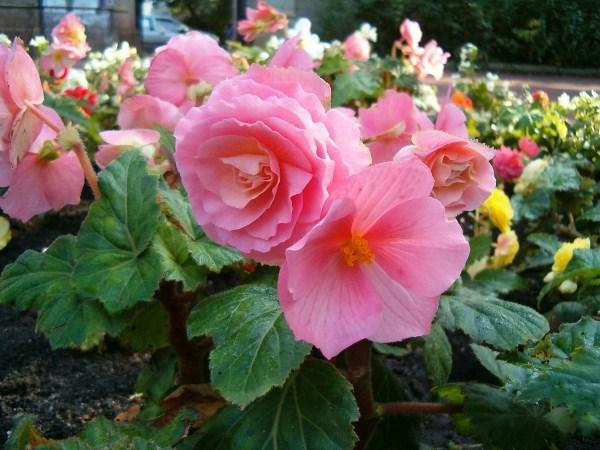 Как ухаживать за садовой бегонией