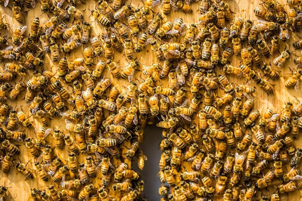 Как объединить две пчелиные семьи в одну, как соединить пчелосемьи осенью