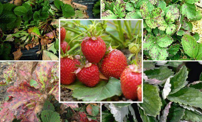 Пятна на листьях клубники: ржавые, красные, коричневые, бурые || Внешние признаки заболевания на кустах клубники