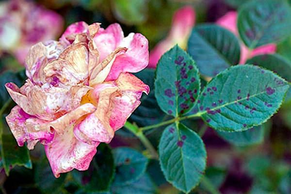 Об обработке роз от болезней и вредителей: чем опрыскивать во время цветения