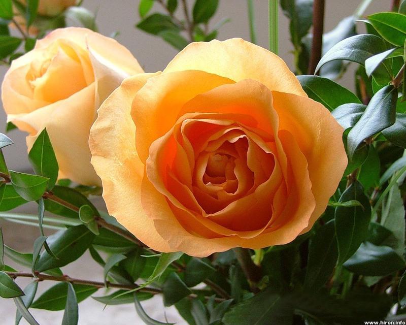 Фаленопсис и орхидея в чем разница Цветок домашний
