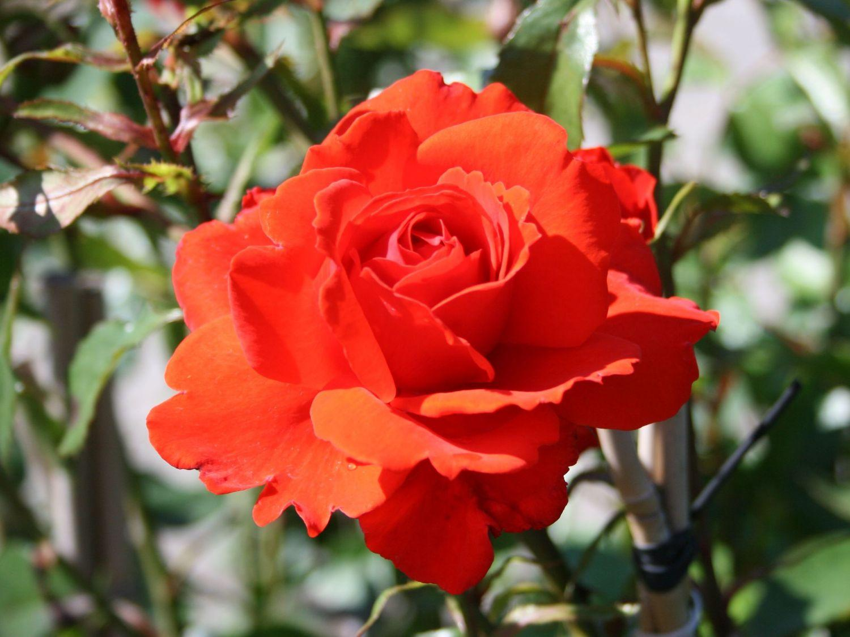 пантов роза бриллиант фото они напоминают хинкали