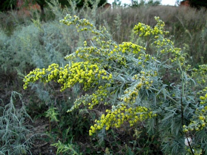 Растение костер безостый: особенности возделывания