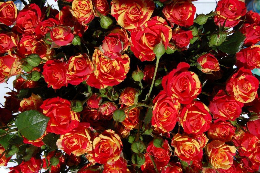 расскажем, что роза спрей что это такое фото того