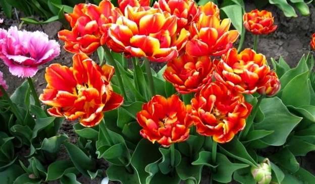 Посадка тюльпанов осенью в открытый грунт: когда (сроки) и как правильно высаживать луковицы