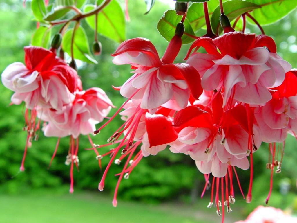 О лучших сортах фуксии: название, описание, как выглядят цветы, особенности || Фуксия гранди си